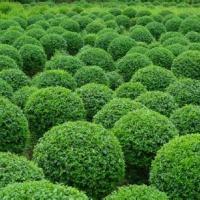 桂林市金叶女贞价格 批发园林苗木 大量供应绿化苗木