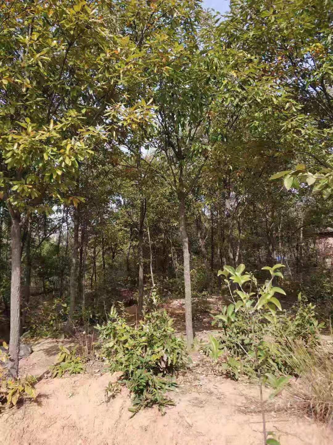 河南优质栓皮栎批发,价格,销售,供应商【南阳绿迪园林绿化有限公司】