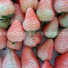 泰安市小白草莓苗批发-价格-报价-多少钱