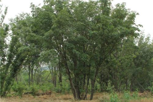 郑州市丛生五角枫种植基地 丛生五角枫价格哪里便宜 订购基地电话