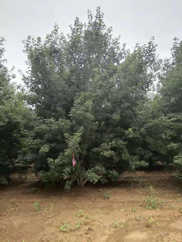 河南南阳市五角枫种植基地 绿化树苗批发 专业种植各种绿化苗木
