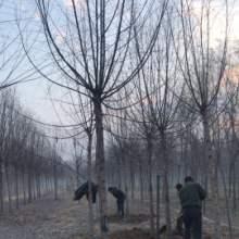 山东济南20公分旱柳苗木种植批发价格电话批发