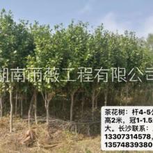 茶树报价、价格、基地【湖南雨薇工程有限公司】