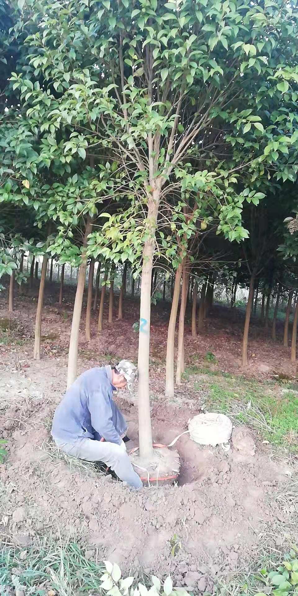 河南蜡树批发-价格-供应商-多少钱一棵