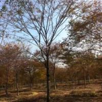 崇州红榉树基地-价格-销售