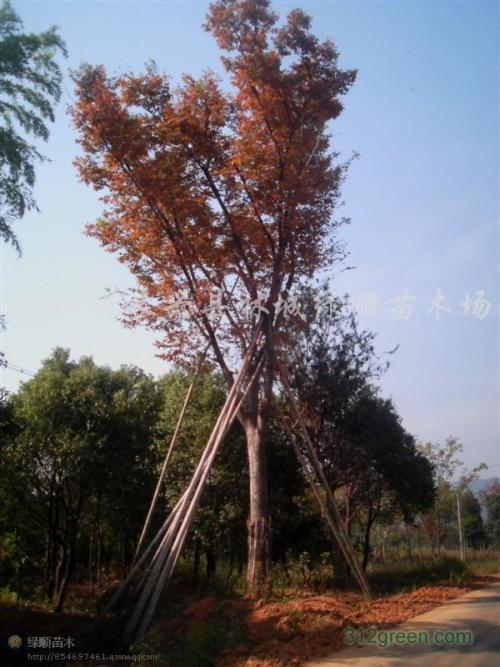 崇州市红榉树种植基地-价格-销售