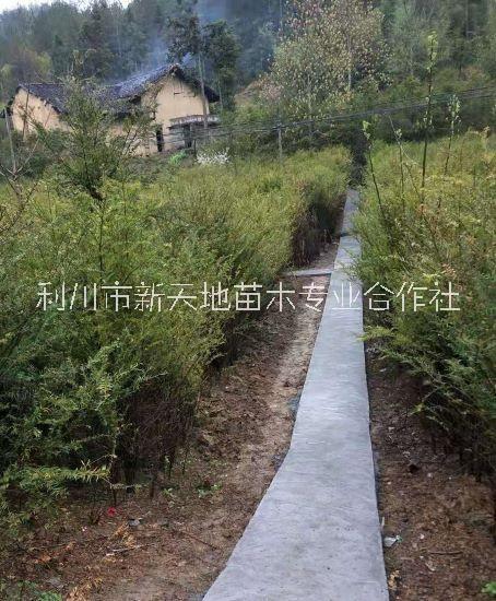 红豆杉树苗 室内盆栽阳台种植南方红豆杉树苗曼地亚红豆杉