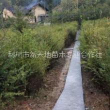 红豆杉树苗 室内盆栽阳台种植南方红豆杉树苗曼地亚红豆杉图片