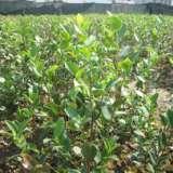 广东广州山油茶种苗批发价格_种植基地【广州恒发造林绿化苗木基地】