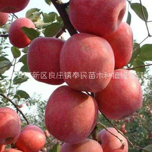 陕西鲁丽苹果苗基地直销-报价-价格,宝鸡优质鲁丽苹果苗批发价-供应商,陕西鲁丽苹果苗销售电话