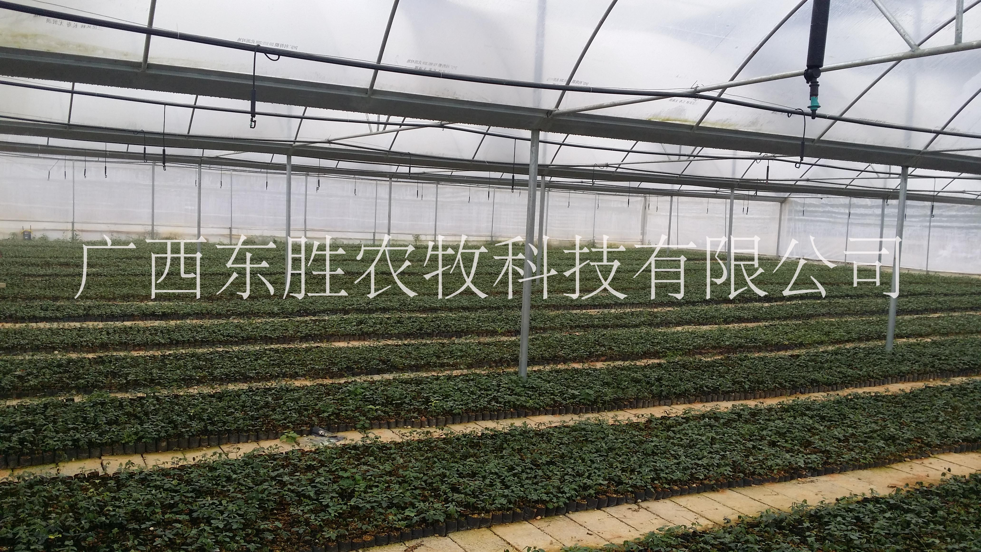 广西河池广豆根生产批发 广豆根苗,原生态广豆根,广豆根价格 广豆根种植技术