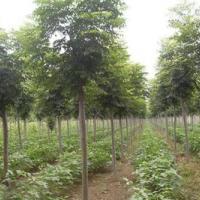 上海市黄山栾种植基地 全缘叶栾树价格 大量批发黄山栾