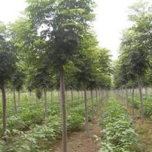 上海市黄山栾种植基地 全缘叶栾树价格 大量批发黄山栾批发