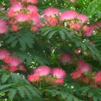 南京市专业种植合欢树 合欢价格 现货批发各种绿化树苗