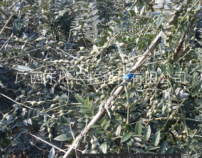 中药材山豆根,河池地道广豆根种子,山豆根种子急售 中药山豆根种子 河池喀斯特山豆根种子 喀斯特山区广豆根种子