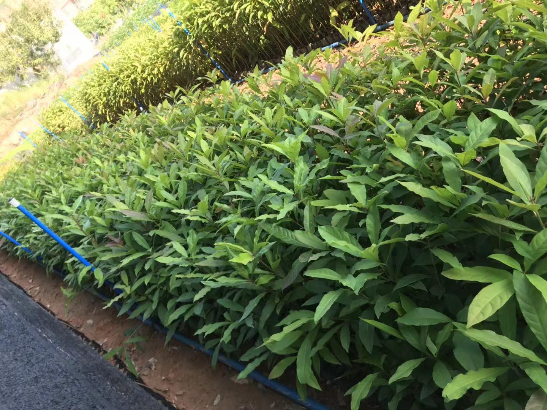 红花玉蕊供应价格、价钱、批发、【广州汇森林业有限公司】