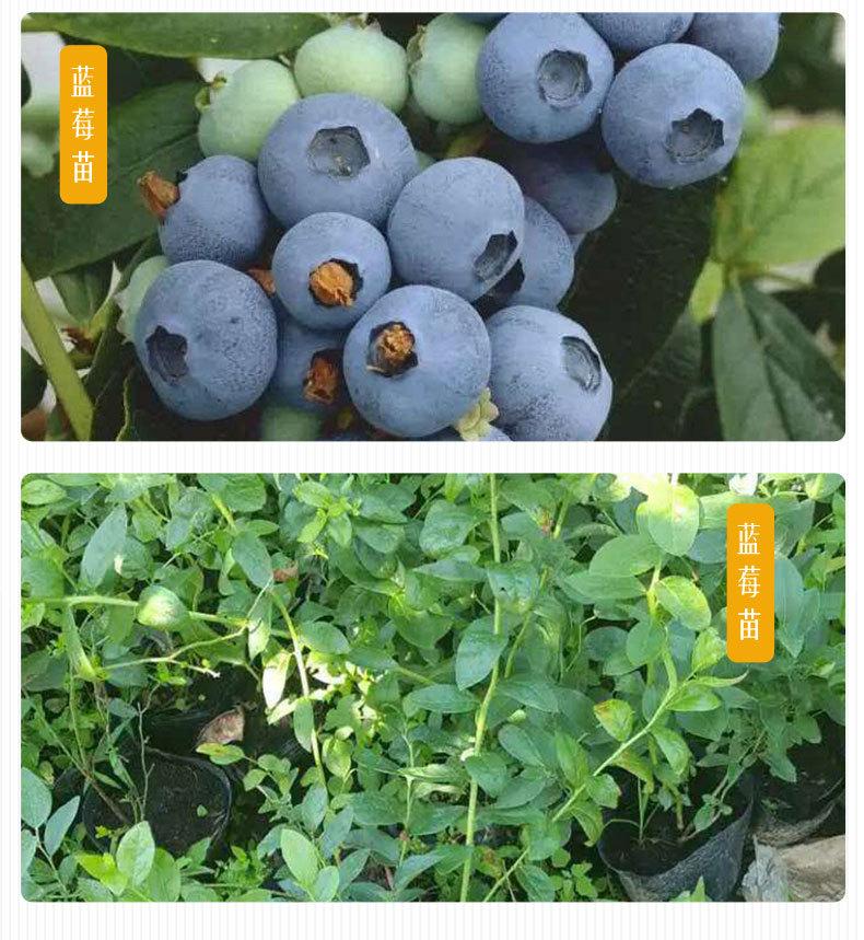 山东蓝莓苗种植基地批发价格