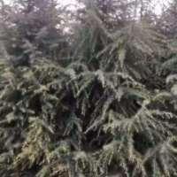 河南雪松苗种植基地批发多少钱、雪松苗圃场