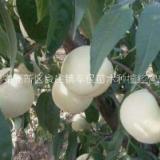 山东优质白如玉桃树苗种植基地,专业培育白如玉桃树苗育苗场电话,山东白如玉桃树苗批发价-报价