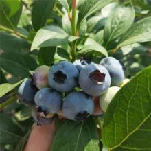 3年生蓝莓苗多少钱  山东蓝莓苗育苗基地在哪  南方蓝莓苗品种批发