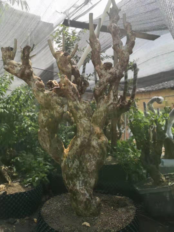 紫薇古桩盆景报价价格 紫薇古桩大量批发 紫薇树桩培植