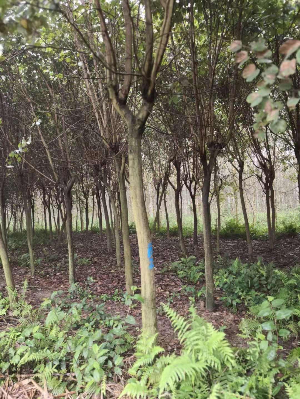 钦州市宫粉紫荆价格 紫荆树种植基地 洋紫荆批发