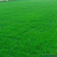 南京市草坪種植 園林綠化專用草皮 優質草皮價格批發