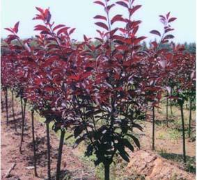 精品紫叶李价格 红叶李批发 园林专用绿化树苗种植