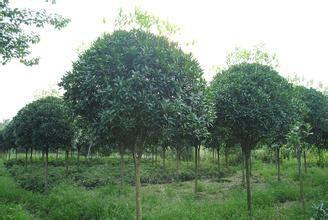 精品桂花树价格 桂花树种植基地 15公分桂花价格