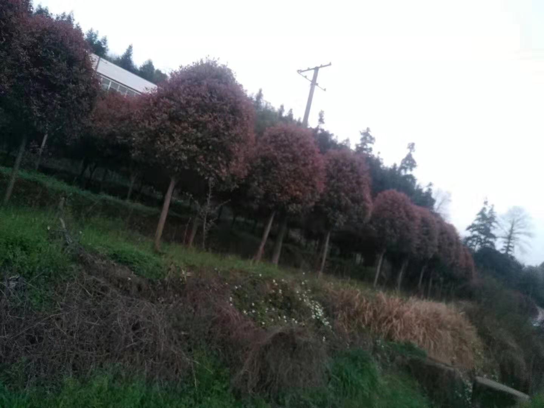 湖南长沙浏阳1--20公分红叶石楠树直销苗木基地