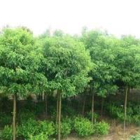 江苏无锡市香樟树价格 绿化树苗批发 种植园林苗木基地