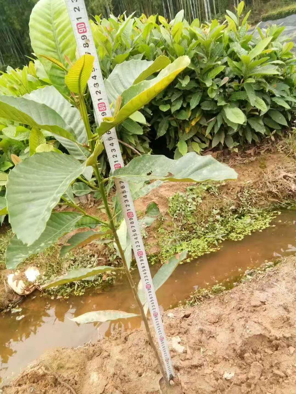 广州增城黎塑小苗批发|供应|供货|种植|哪家好