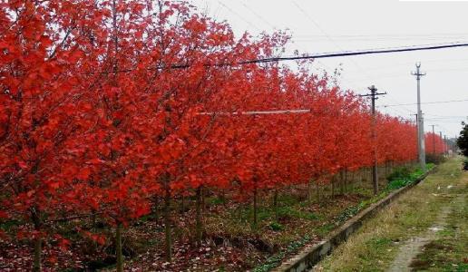 精品红枫树价格 红枫种植基地 紫红鸡爪槭批发