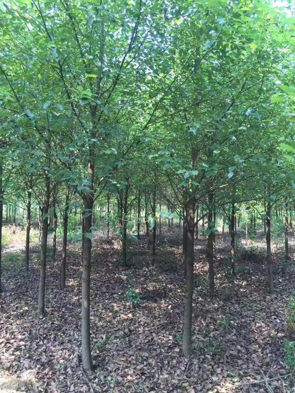 益阳13公分全冠香樟益阳市13公分全冠香樟种植基地-批发-优质
