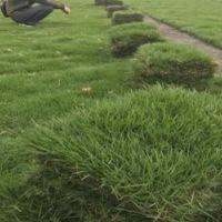 佛山台湾草卷种植基地直销供应商批发价格