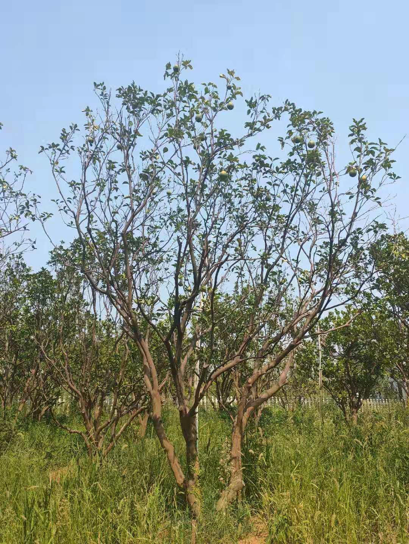 长沙精品丛生树、种植、批发、价格、供应商【长沙县希望花卉苗木专业合作社】