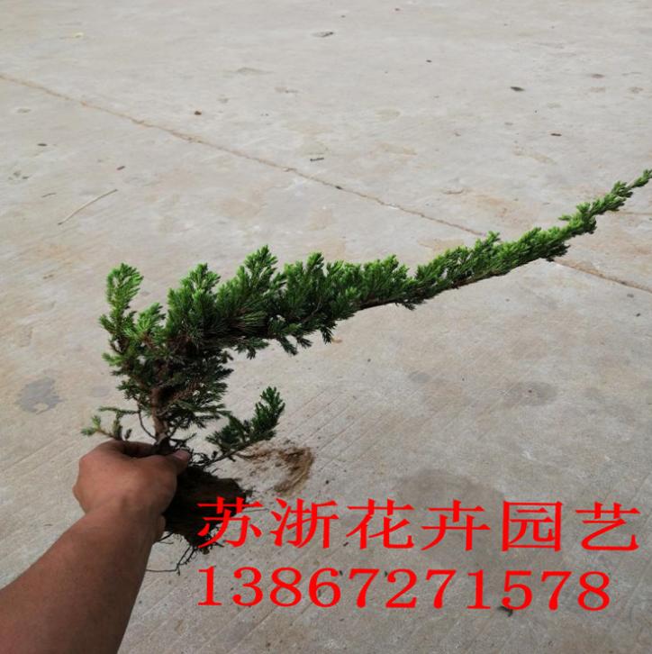 绿化工程苗销售