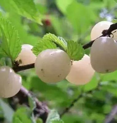 白玉樱桃图片/白玉樱桃样板图 (2)