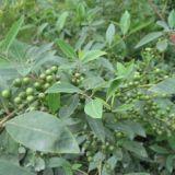 美誉安达香料厂生产山苍子油 木姜子油 山鸡椒油、天然柠檬醛 水蒸馏提取