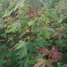 江西九江娜塔栎小苗-娜塔栎小苗-娜塔栎小苗批发-品种齐全-量大从优-批发种植基地