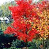 奉化区赤枫种植基地 赤枫产地直销 赤枫价格
