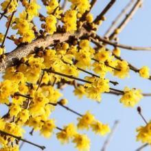 奉化区腊梅种植基地 浙江腊梅批发基地腊梅价格图片