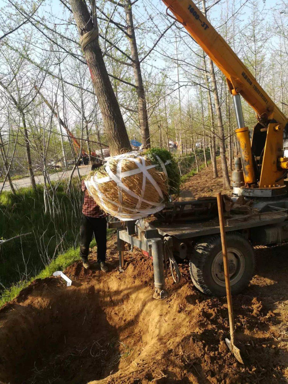山东造型松树基地-山东造型松树价格-2020年造型松树批发价格