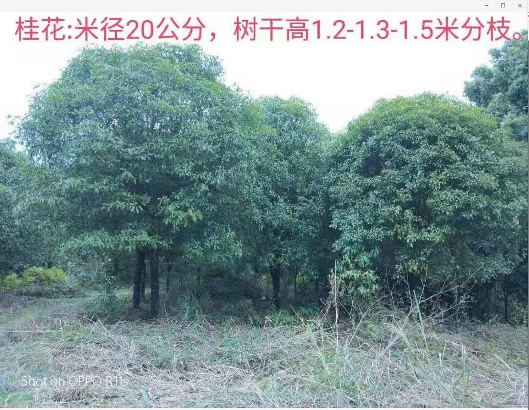 广西桂林1.8-2.5分枝米桂花种植基地直销价格 高分枝桂花