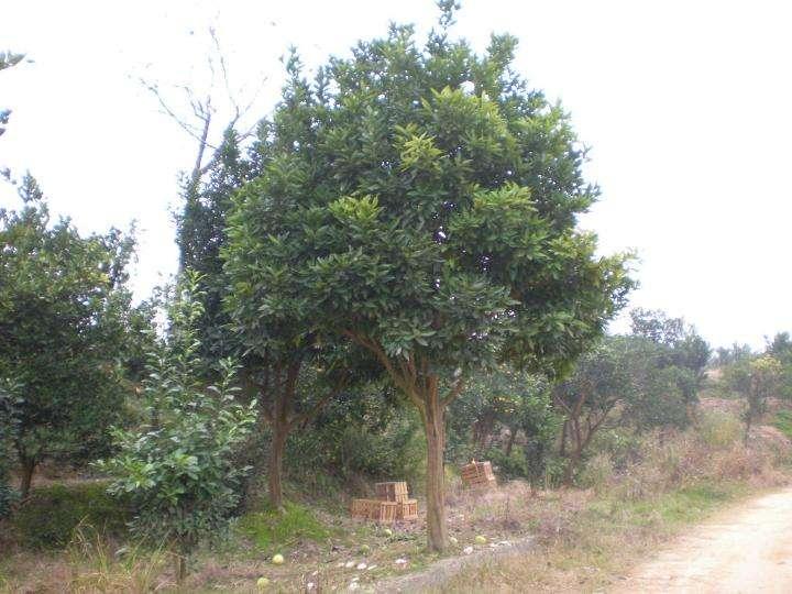 湖南益阳长期供应香泡树基地、价格、供应