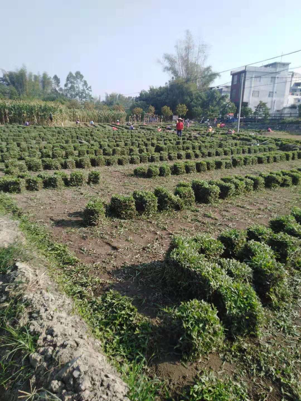 广西贺州马尼拉草基地--广西合山马尼拉草价格-广西凭祥马尼拉草批发