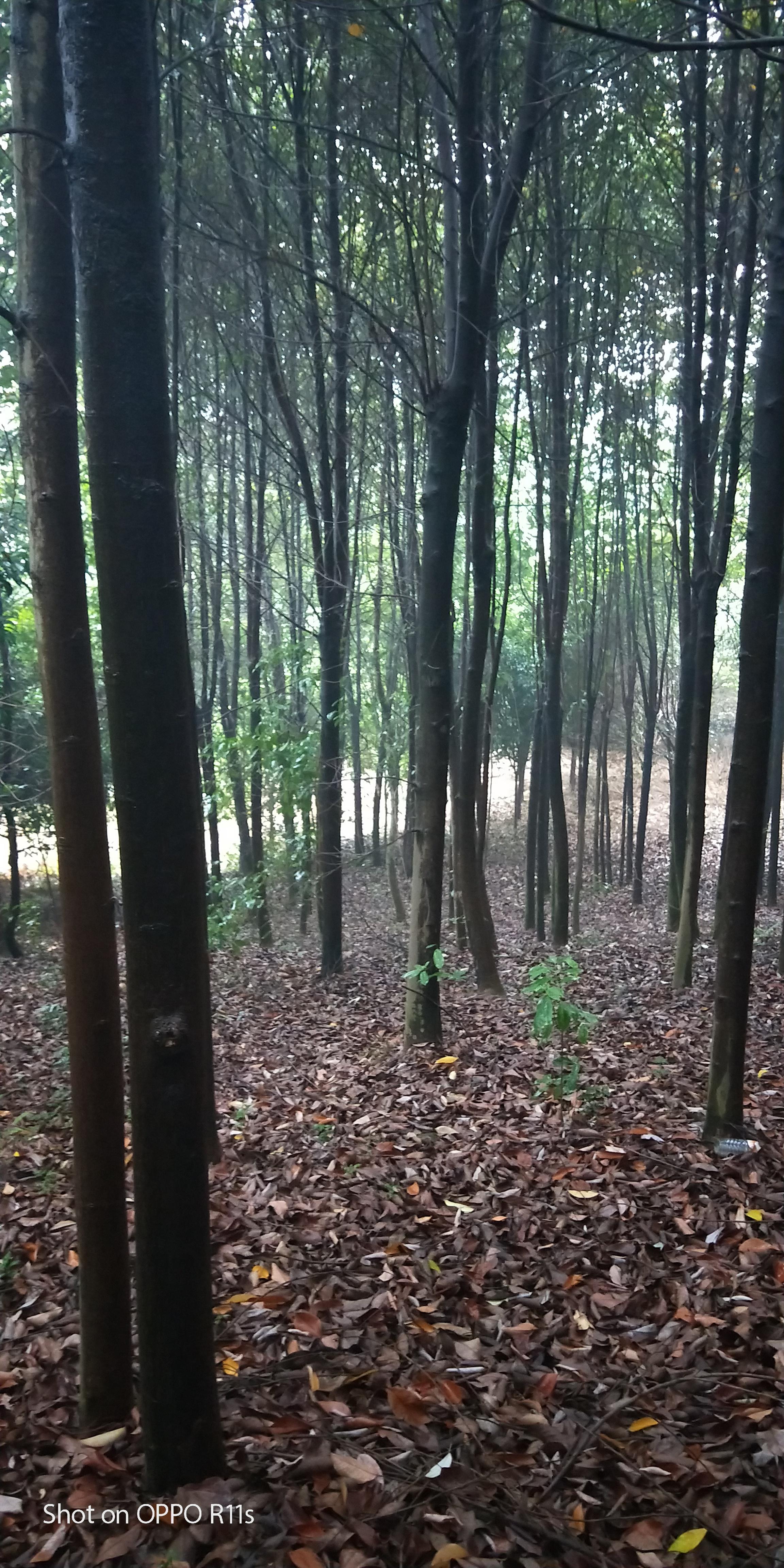 广西桂林市火力楠种植基地批发