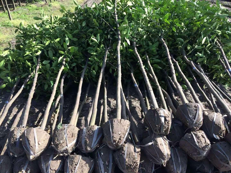 江西九江香泡树种植批发基地哪里有卖多少钱