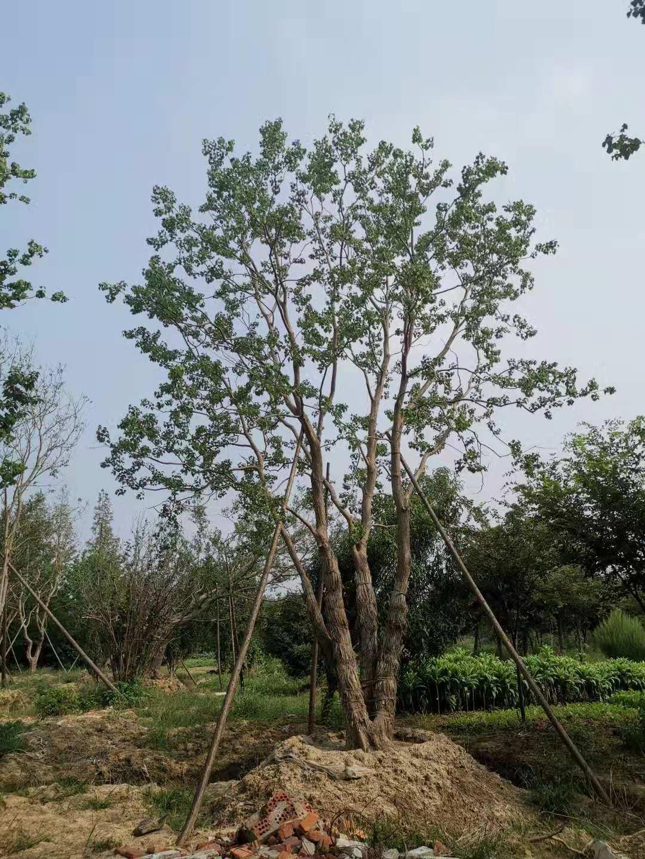 丛生乌桕 乌桕园林直销 优质绿化乌桕树苗