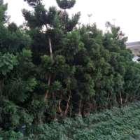 福建漳州澳洲杉地径5一10公分种植批发基地批发价格哪里有卖多少钱